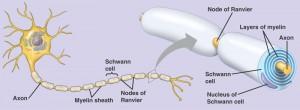 lapisan-myelin