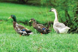 duck_goose_medium